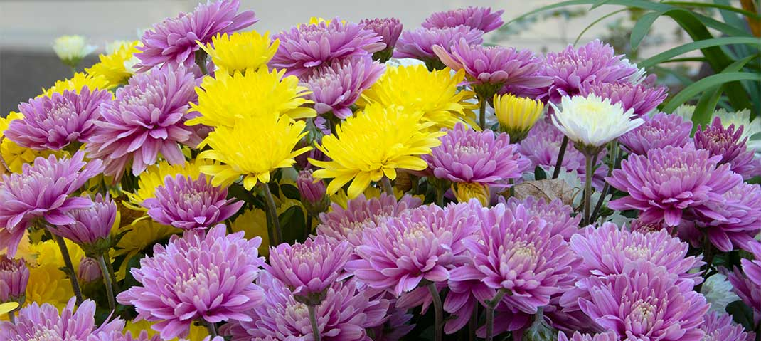 Bunte Chrysanthemen